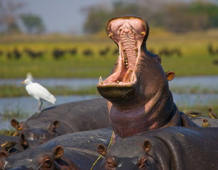 Hippo he opens his mouth sitting in the water. Zambia.