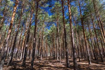 Pinus sylvestris. Bosque de Pino silvestre, albar. Sierra de la Culebra, Zamora.