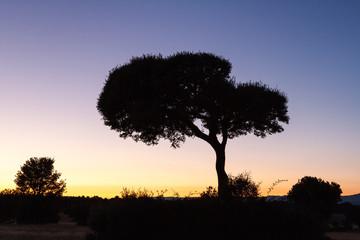 Silueta de Encina al atardecer. Quercus ilex. Sierra de la Culebra, Zamora.