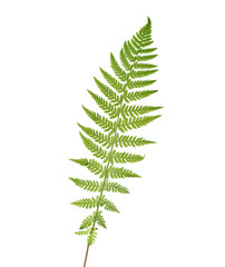 Young  leaf of fern  isolated on white