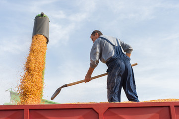 Wall Mural - Corn harvest