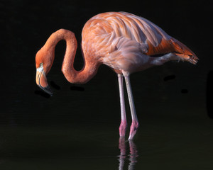 flamingo on a black background