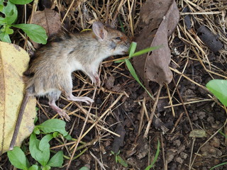 Carcass of dead rat are eaten by ants