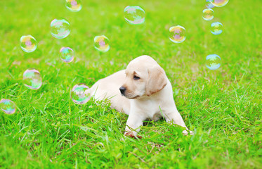 Beautiful dog puppy Labrador Retriever with soap bubbles on gras