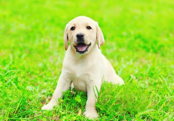Happy cute dog puppy Labrador Retriever sitting on green grass i