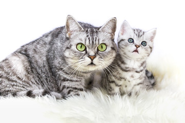 Mother silver tabby cat with young kitten isolated on white background