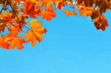 Orange maple tree branches against the blue sky in sunny weather