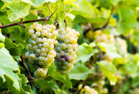 Weintrauben hängend
