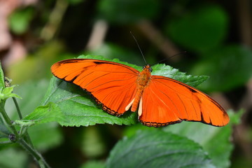 An Orange Julia butterfly shows off its beauty in the gardens.