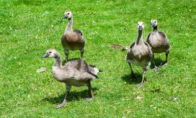 Group of juvenile Canada Geese walking
