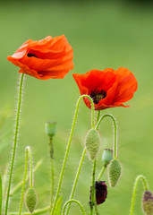 Two flowering poppies in a field, with poppy buds bent over.