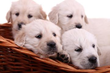 Four sweet golden retriever puppies in wicker basket