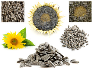 Collection of sunflower