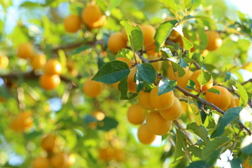 Cherry plum fruits in a garden