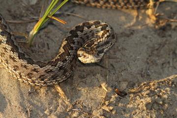 moldavian meadow viper