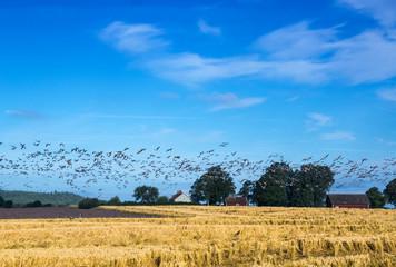 Wildgänse in Südschweden