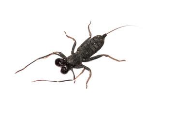 Whip scorpion isolated white background