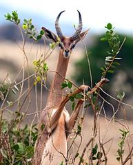 Fototapete - African gazelle gerenuk