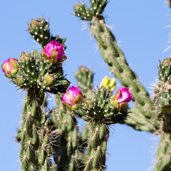 Cholla Cactus with pink or fuchsia flowers in Arizona's Sonoran Desert