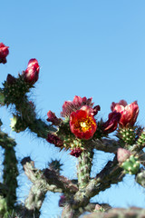 Cholla Cactus with scarlet red flowers in Arizona's Sonoran Desert