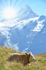 Wall Mural - Cows in Alpine meadow. Jungfrau region, Switzerland