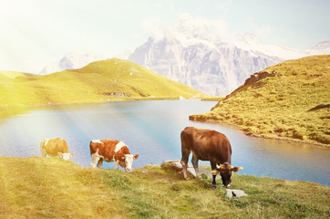 Wall Mural - Cows in Alpine meadow. Jungfrau region, Switzerland