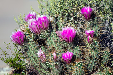 Fuchsia flowers on a Hedgehog cactus in Organ Pipe Cactus National Monument in Arizona