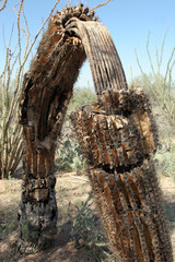 Wide-angle view of skeleton and remaining bark of a dead Giant Saguaro in Arizona's Sonoran Desert