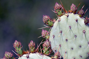 Prickly Pear pads covered with flower buds and long spines in the Sonoran Desert