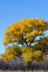 Fremont Cottonwood in autumn color in Bosque del Apache National Wildlife Refuge