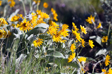 Dwarf sunflowers grow wild in Black Canyon of the Gunnison National Park in Colorado