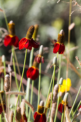Prairie Coneflower, or Mexican Hat, grows wild in a New Mexico field