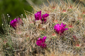 Purple-flowering Strawpile Hedgehog in the Chihuahua Desert of southern New Mexico