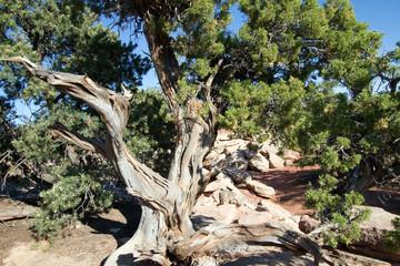 Utah Juniper in Canyonlands National Park in southern Utah