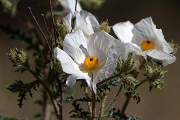 White Prickly Poppy grows along roadsides in the desert southwest
