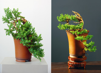 two views on juniper bonsai before and after styling