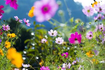 コスモス咲く斑鳩の里