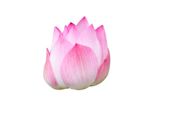 lotus on white background with path