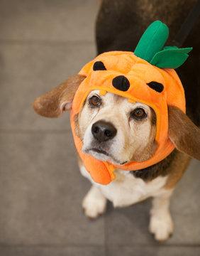Senior beagle dog wearing Halloween costume of pumpkin looking up