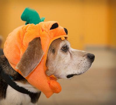 Profile of senior beagle dog wearing Halloween costume of pumpkin