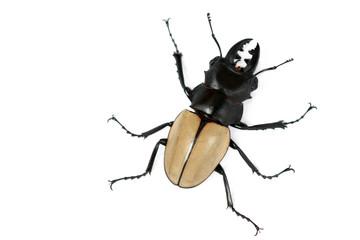 Scissors beetle