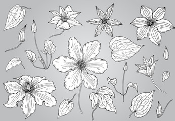 Set of hand drawn clematis flowers in sketch monochrome style