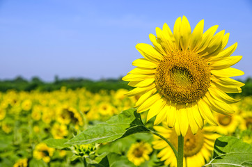Field of sunflower