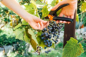 Fototapeta zbieranie winogron obraz