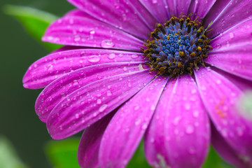beautiful purple daisy in the morning dew