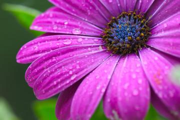 beautiful purple daisy in the morning dew