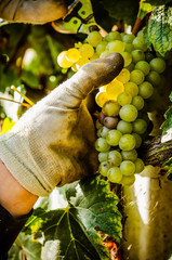 Wall Mural - Harvest of bunch of chardonnay grapes