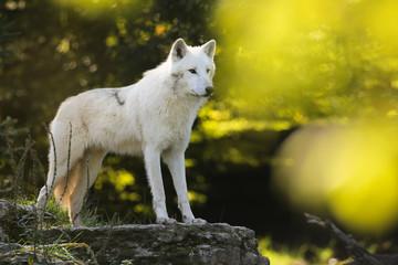 loup blanc arctique peur meute mammifère sauvage