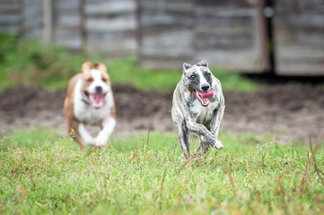 Whippet dog playing catch-up with another dog