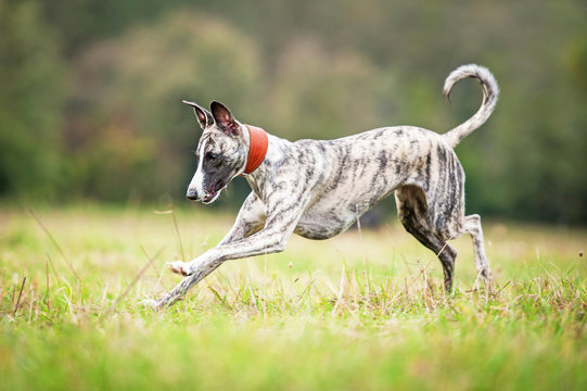 Happy whippet dog playing on the field
